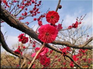 Feb17_BubaiPlumBlossom25RC.jpg