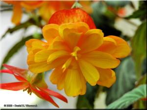 Feb02_JindaiBG_Begonia04RC.jpg