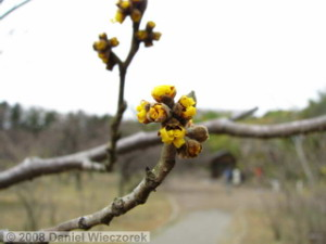 Feb02_JindaiBG_Hamamelis01RC.jpg