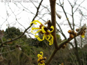 Feb02_JindaiBG_Hamamelis05RC.jpg