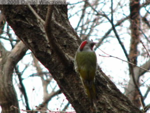 Feb02_JindaiBG_Picus_awokera_JapaneseGreenWoodpecker13RC.jpg