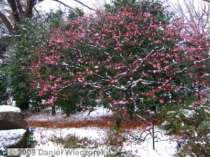 Feb03_JindaiBG_SnowyPlum02RC.jpg