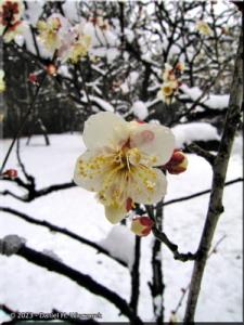 Feb03_JindaiBG_SnowyPlum05RC.jpg