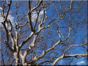 Feb16KoishikawaBG37_LagerstroemiaSubcostataRC.jpg