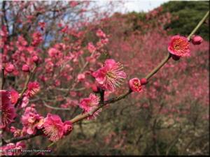 Feb16KoishikawaBG75_GosechinomaiRC.jpg