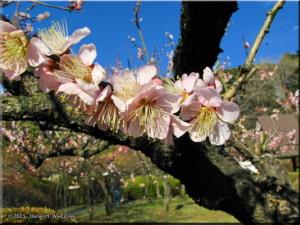Feb16_KoishikawaBG_PlumBlossom09RC.jpg