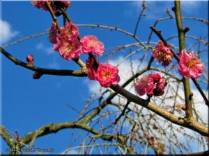 Feb16_KoishikawaBG_PlumBlossom10RC.jpg
