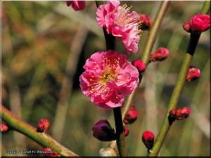 Feb16_KoishikawaBG_PlumBlossom12RC.jpg