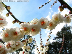 Feb16_KoishikawaBG_PlumBlossom27_BacklightRC.jpg