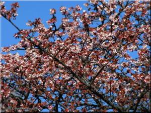 Feb16_KoishikawaBG_Prunus_jamasakura_var_praecox02RC.jpg