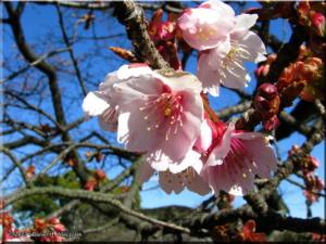 Feb16_KoishikawaBG_Prunus_jamasakura_var_praecox09RC.jpg