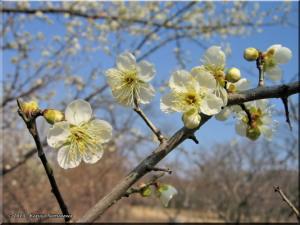 Feb23NogawaP24_WhitePlumRC.jpg