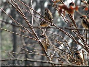 Feb23_NogawaPk_Sparrows06RC.jpg