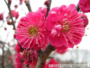 Feb11_Bubaigawara_Plum02RC.jpg