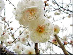 Feb11_Bubaigawara_Plum06RC.jpg