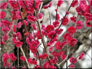 Feb11_Bubaigawara_Plum13RC.jpg