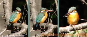 Feb06_NogawaPark_3_Kingfishers_RC