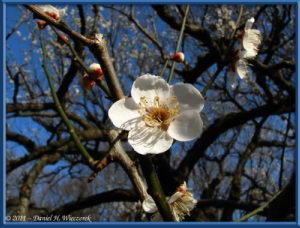 Feb13_35FR_NogawaPk_Plum_Blossom_RC