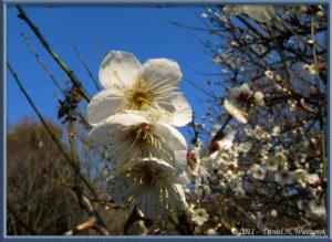 Feb13_36FR_NogawaPk_Plum_Blossom_RC