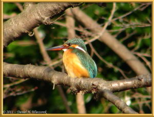 Feb13_42FR_NogawaPk_Kingfisher_RC