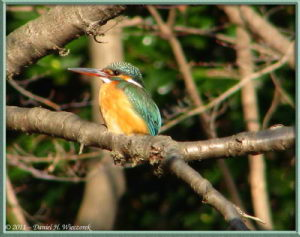 Feb13_46FR_NogawaPk_Kingfisher_RC