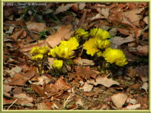 Feb13_48FR_NogawaPk_Adonis_sp_RC