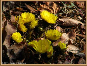 Feb13_51FR_NogawaPk_Adonis_sp_RC