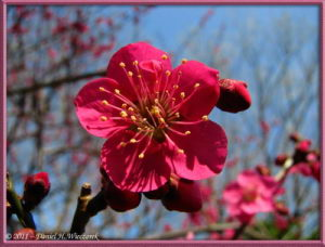 Feb26_38_Bubaigawara_RedPlumBlossom_RC