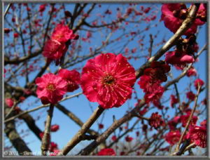 Feb26_44_Bubaigawara_RedPlumBlossom_RC