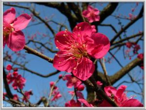 Feb26_56_Bubaigawara_RedPlumBlossom_RC