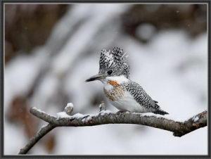 Megaceryle_lugubris_Crested_Kingfisher1_R
