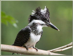 Megaceryle_lugubris_Crested_Kingfisher5_Crop_R
