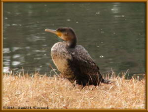 Feb05_13_JindaiBG_Cormorant_RC
