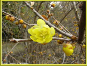 Feb05_35_JindaiBG_Chimonanthus_praecox_f_concolor_RC