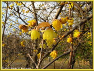 Feb05_38_JindaiBG_Chimonanthus_praecox_f_concolor_RC
