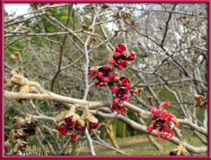 Feb05_40_JindaiBG_Hamamelis_sp_RC