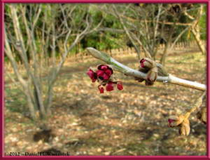 Feb05_42_JindaiBG_Hamamelis_sp_RC