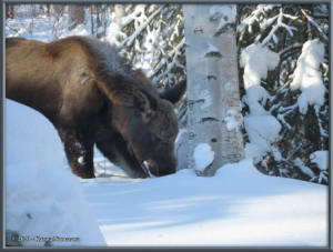 Feb15th_004_Moose_HomeRC