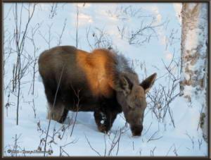 Feb15th_138_Moose_HomeRC
