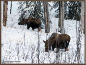 Feb15th_175_Moose_HomeRC