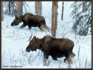 Feb15th_180_Moose_HomeRC