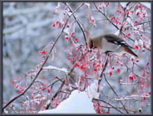 Feb7_07_BohemianWaxwingRC