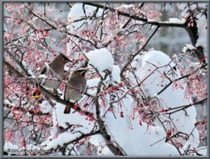 Feb7th_053_BohemianWaxwingRC