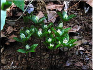 April7Ogesawa_Chloranthus_japonicus02RC.jpg