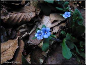 April7Ogesawa_Omphaloides_japonica09RC.jpg