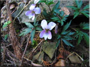 April7Ogesawa_Viola_eizanensis05RC.jpg
