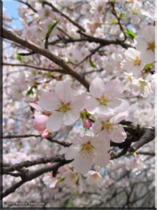 April_ICU_CherryTree02RC.jpg