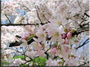 April_ICU_CherryTree03RC.jpg