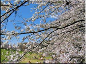 Apr03_NogawaPark_CherryBlossoms05RC.jpg