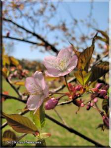 Apr03_NogawaPark_CherryBlossoms08RC.jpg